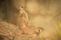 meerkats profile 900 263