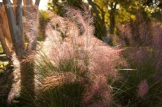 pink fountain grass sunlight 900 490