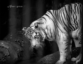 white tiger Fort Worth zoo bw 900 2852