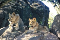 2 lionesses sideview 1000