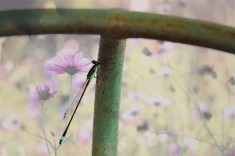 blue dasher baby dragonfly purple flowers background 012 (1280x853) (1280x853)