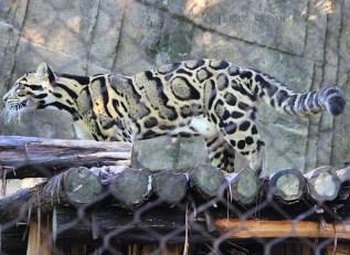 clouded leopard 1000