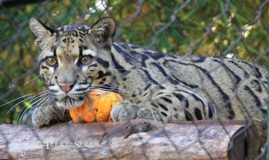 clouded leopard pumpkin closeup 1000