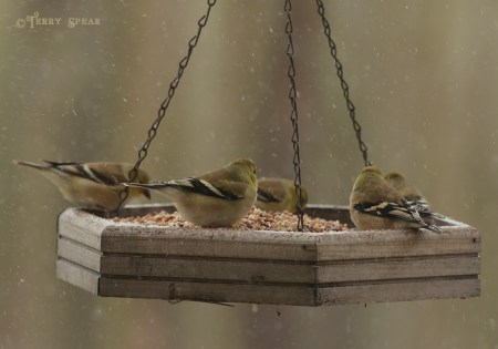 goldfinches snow 1000 6160