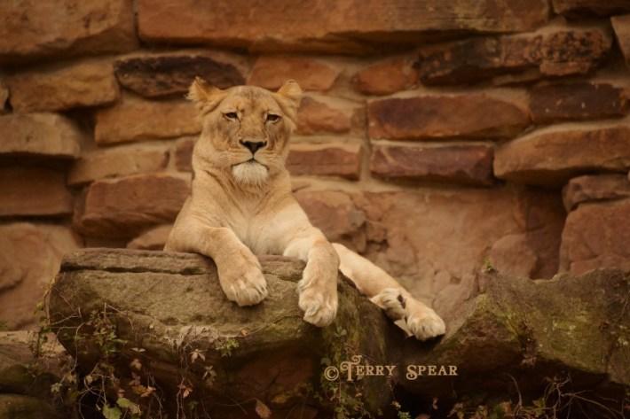lioness-dsc_8199-800x534