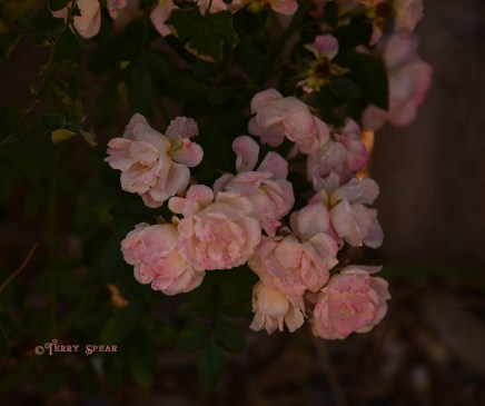 pink roses 012
