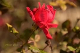 red rose 1000 013