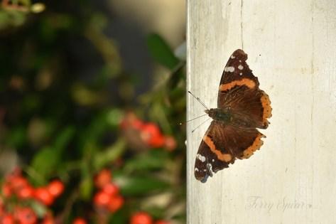 brown and orange moth 1000 014