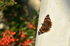 brown and orange moth or skipper or butterlfy at an angle 1000 014