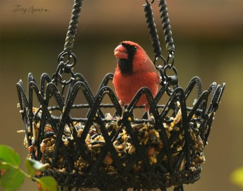 cardinal male with peanut in his beak 1000 010