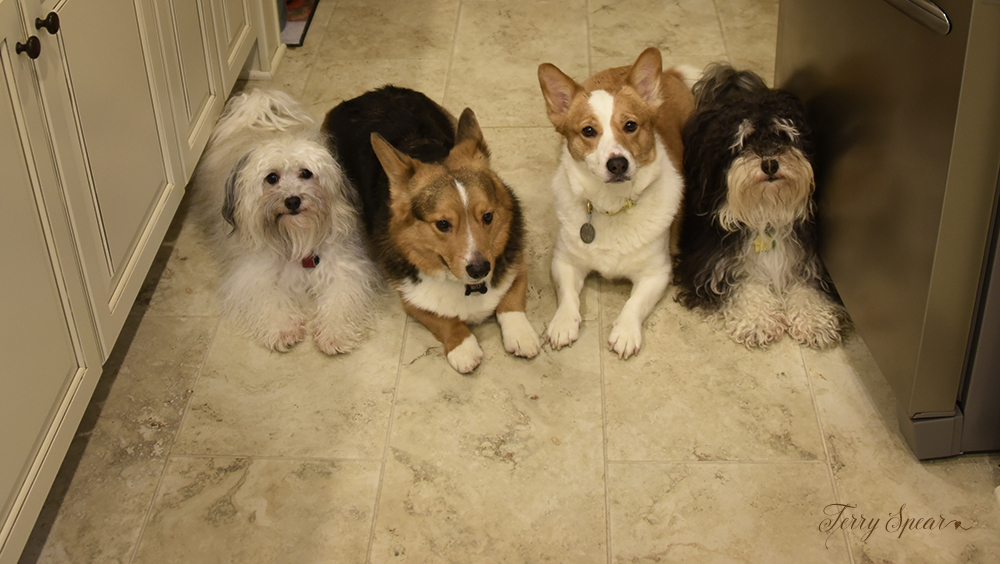 dogs in kitchen 1000 028