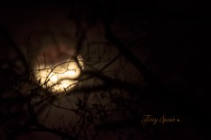 lunar eclipse, supermoon, blue moon focus on branches over moon 1000 013