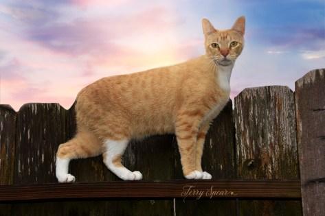 tabby cat on fence 1000 008
