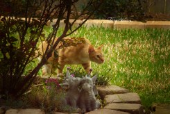 tabby in hunting mode 1000 clarity 003