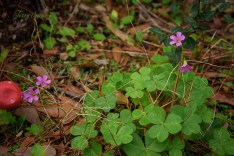 wooded sorrels oxalis 1000 011