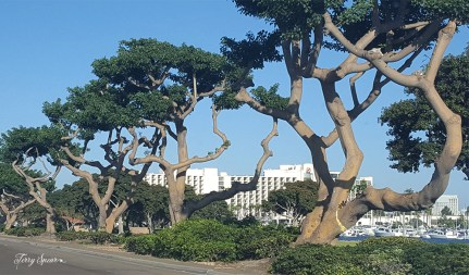 gnarled trees along the waterfront 1000 San Diego