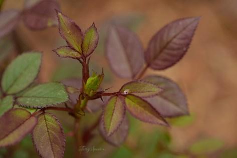 macro miniature rosebush 1000 029