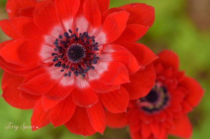 macro ranunculus flowers 1000 022