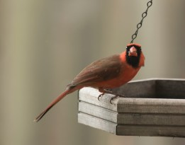 male cardinal seed in mouth 6000 129