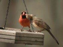 male feeding female cardinal 1000 197