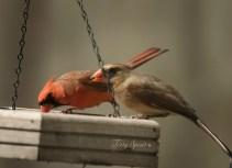 male femle cardinals 1000 203
