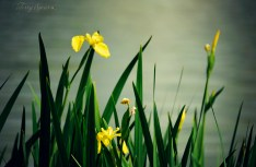 yellow irises at pond 1000 056