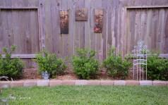 burford holly hedge 1000 049