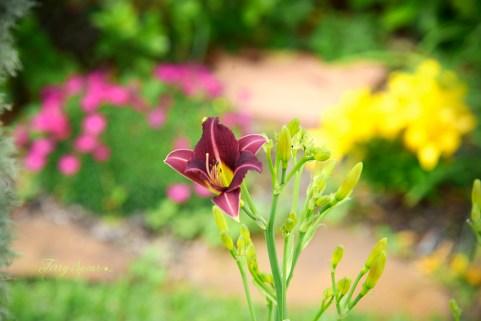 burgundy daffodil 1000 024