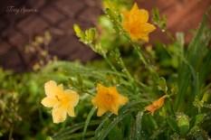daylily yellow 1000 016
