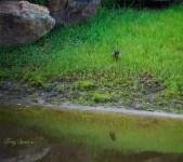 green heron and reflection 1000 064
