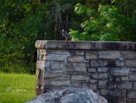 green heron sitting on top of a wall 1000 018