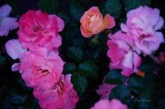 peach roses in the rain 1000 020