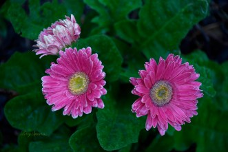 pink gerbera daisies in the rain 1000 057