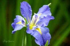 purple iris 1000 100