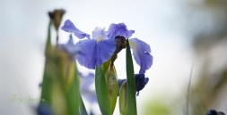 purple iris 1000 117