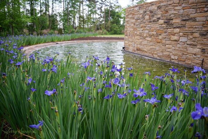 purple irises 1000 092