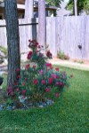 rosebush grown up 1000 003