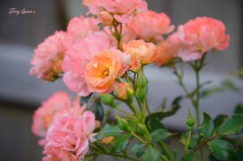 apricot roses 1000 014