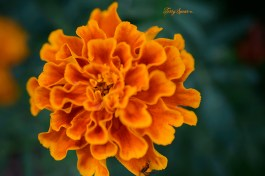 macro marigold 1000 106