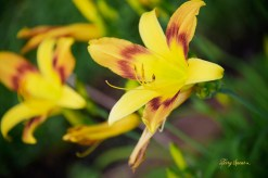 new daylily yellow and orange 1000 006