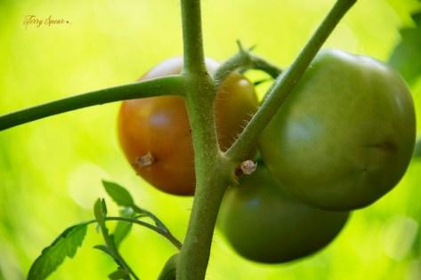 ripe tomato early girl 1000 011