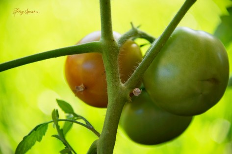 ripe tomato early girl 1000 011