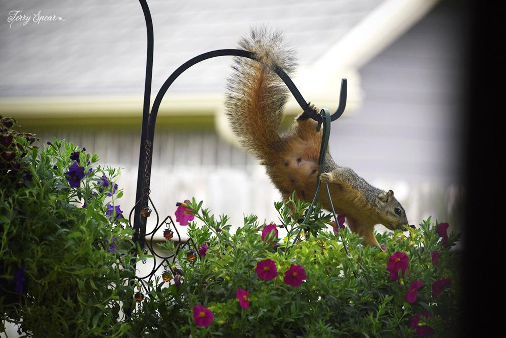 squirrel on hanging basket 1000 020