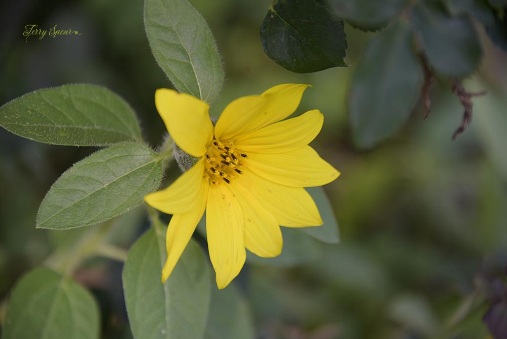 sunflower 1000 015