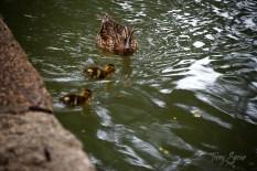 Duck and ducklings on the Riverwalk San Antonio 1000 188