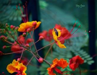 black honeybee red flowers 1000 Riverwalk San Antonio 004