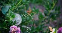 orange dragonfly flame skimmer 1000 025