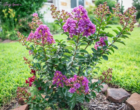 purple magic crepe myrtle 1000 040