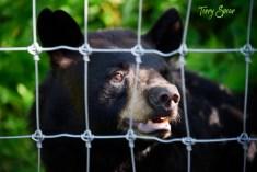 Black Bear Ted 1000 Minnesota 2029
