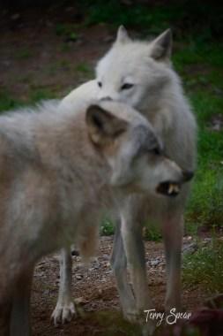 Denali and Grayson baring teeth 1000 minnesota 115